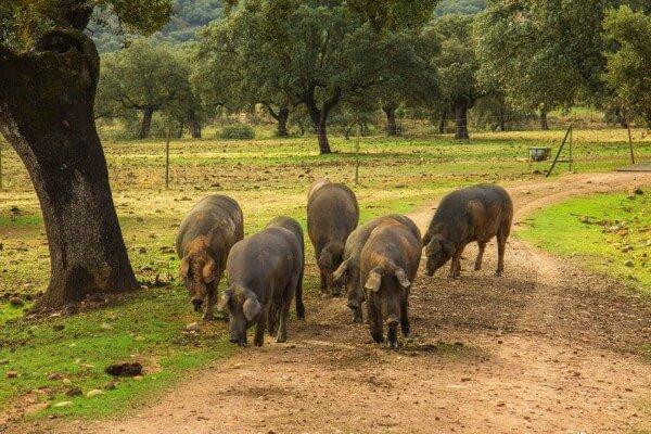 Schwarzes-SchweinjRnh2PWcBgkgK